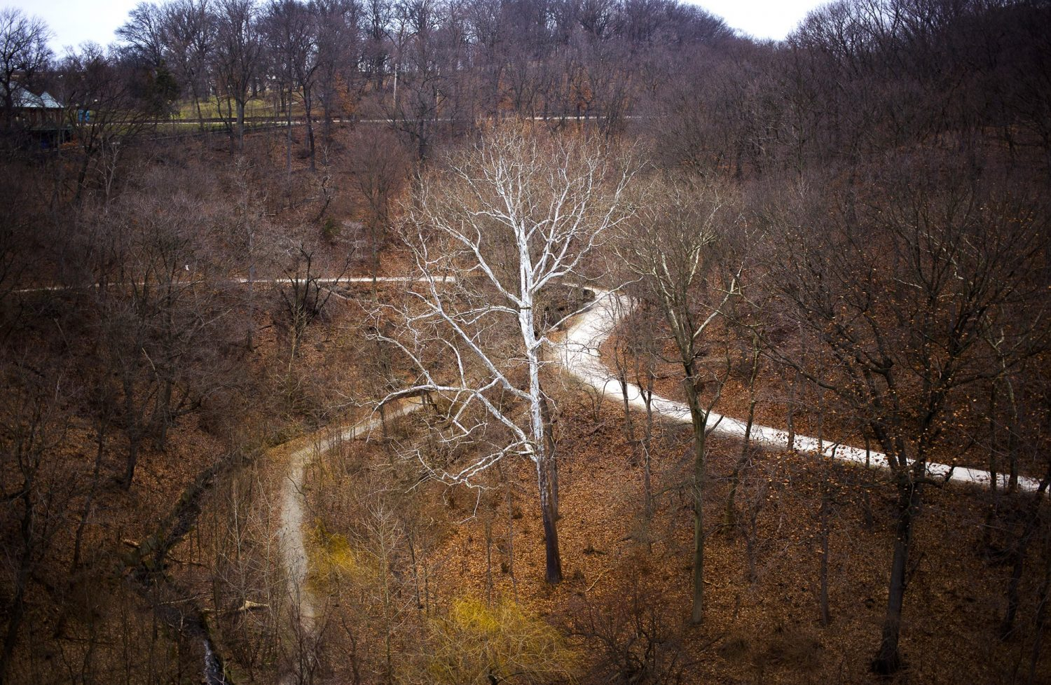 Sycamore, Panther Hollow Trail, Schenley Park, 2018