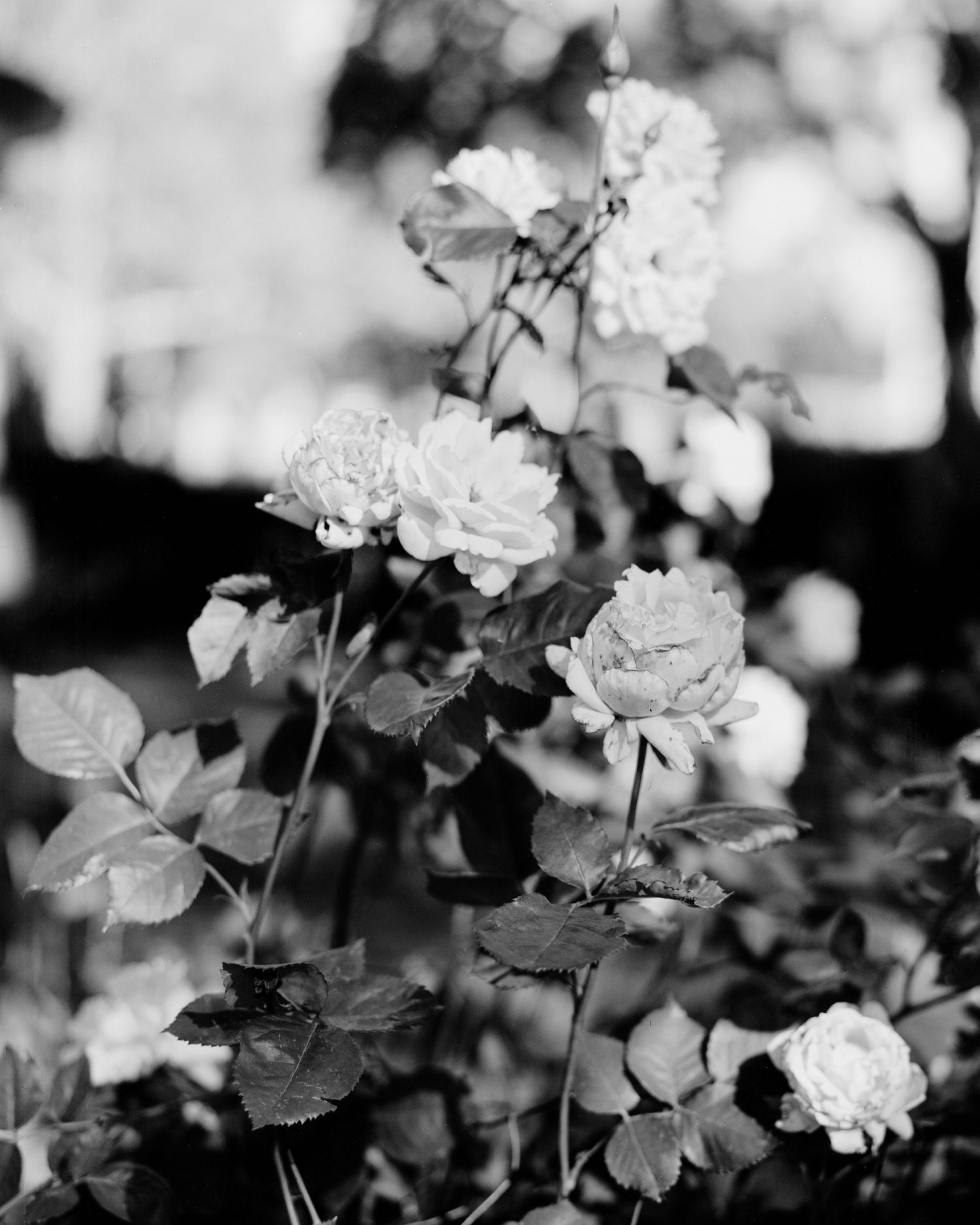 Roses, 2019